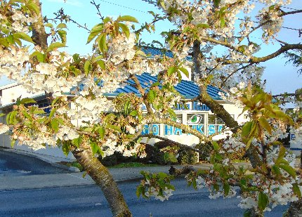 Pear blossoms along Meridian in Puyallup, Washington.