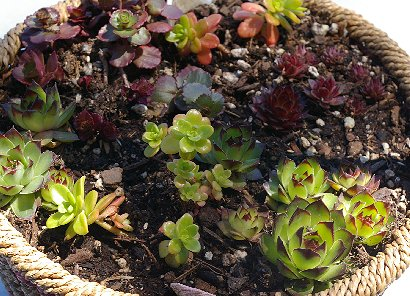 Succulents purchased at a plant sale in Edmonds, Washington.