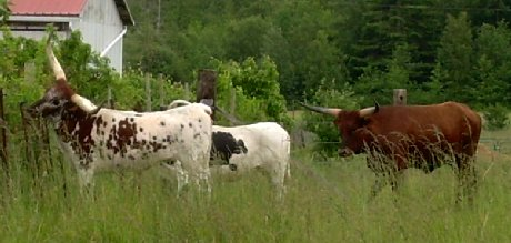The latest residents of La Conner, longhorn cattle.