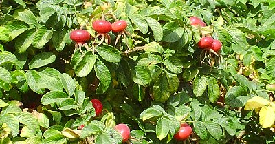 A rosehip hedge in La Conner, Washington - Photo.