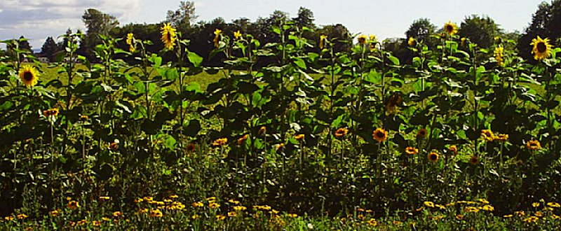 Sunflowers growing along the road in La Conner, Washington - photo.