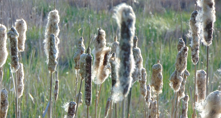 Cat tails from wetlands in Edmonds, Washington - image.
