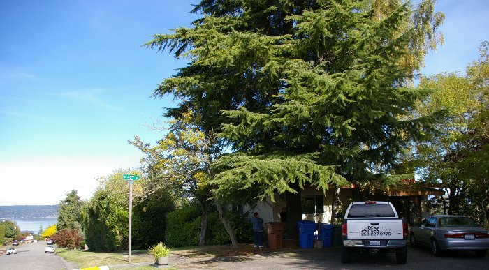 Our old cedar tree - image.