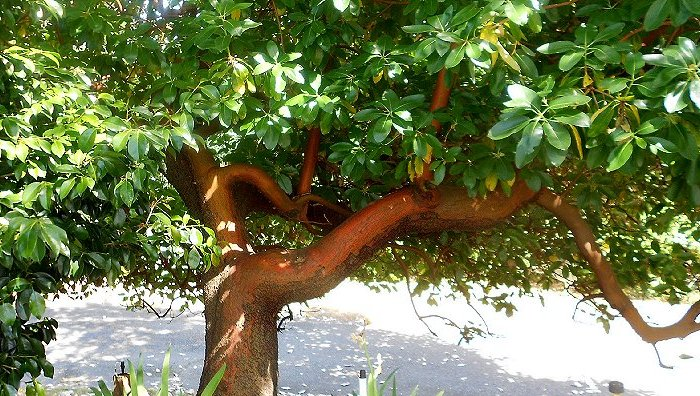 Our twisted and interesting madrona tree in Tacoma - image.