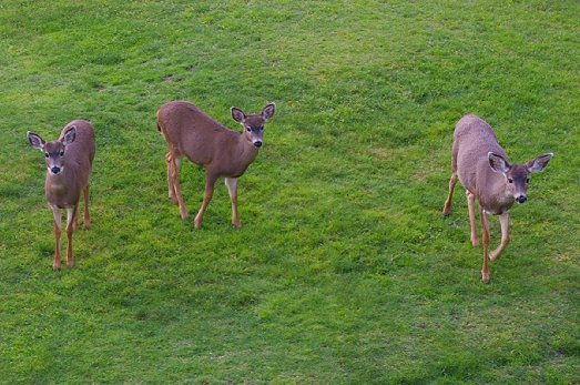 Deer looking for their free handout at The Grey Gull in Ocean Shores - image.