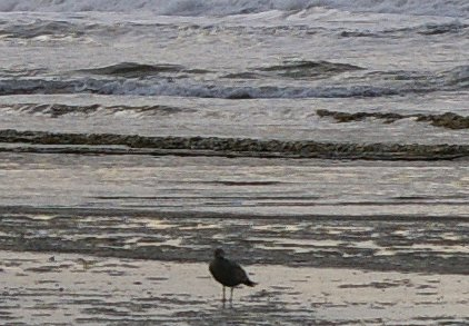 Gull on the beach at Ocean Shores, Washington - image.