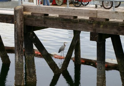 A crane fishing for food in Port Orchard.