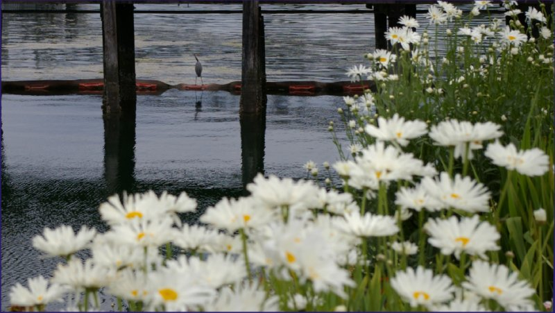 Flowers of downtown Port Orchard.