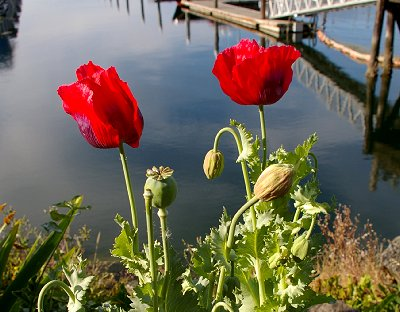 Beautiful red poppies growing along the shoreline park in Port Orchard.