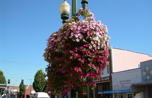 A flower basket on the  streets of Puyallup.
