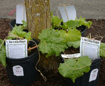 Rhubarb plants for sale at Rhubarb Days in Sumner, Washington.