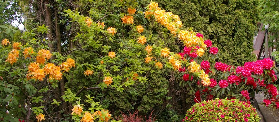 Orange and pink rhododendrons.
