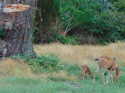 A mother and her two fawns at the Oakbrook Golf Course in Lakewoos, Washington.