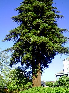 An old cedar across the street from The Villas Bed and Breakfast Tacoma, Washington - Photo.