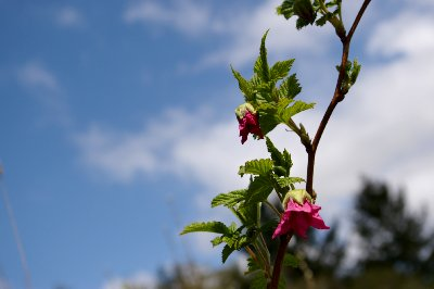 Wild flowering plant.
